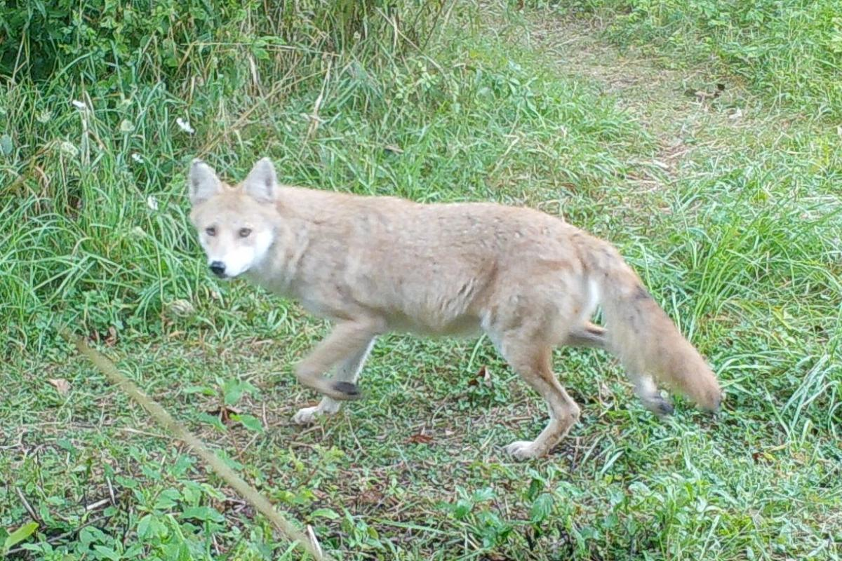 Coyote on trail
