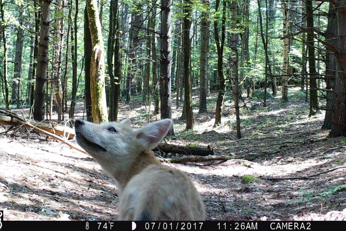 Coyote pup in front of camera