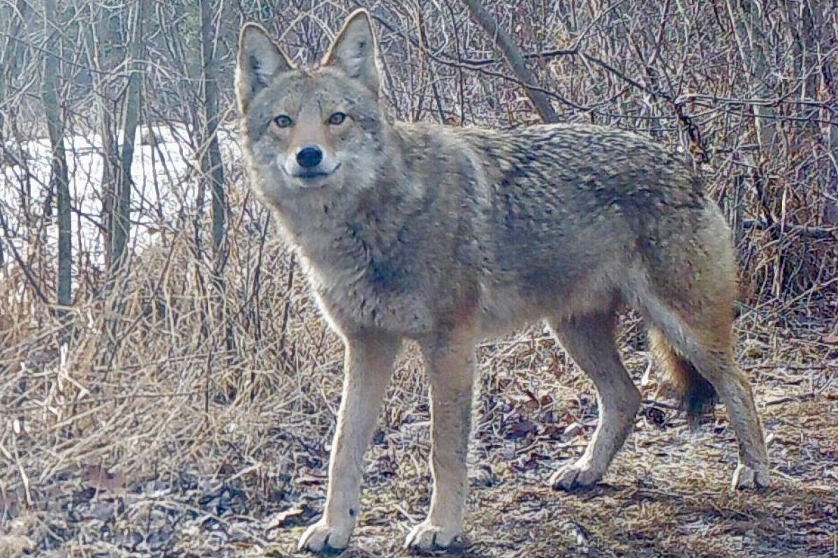 Coyote Along Heath Hen Meadow Brook