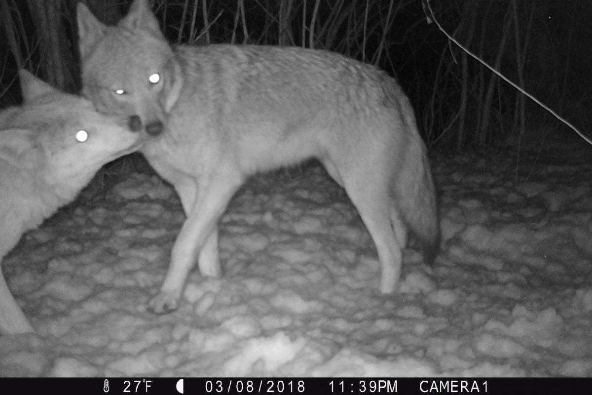 Two Coyotes Greeting on the Trail