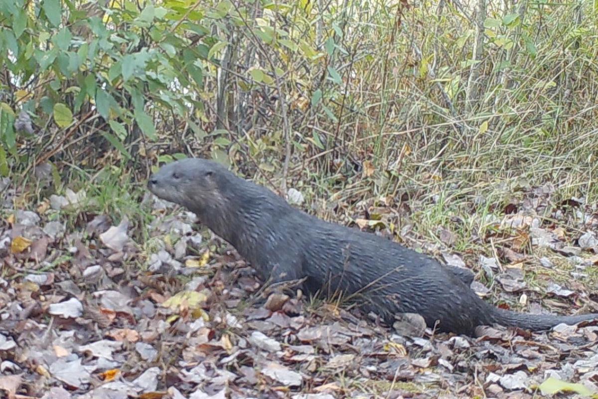 River Otter - Heath Hen Meadow Brook